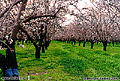 This photo of an almond orchard was taken on an overcast day in mid February. The wonderful aroma from millions of blossoms is as good as the beautiful view. The location is about midway between Chico and Oroville, CA. Butte County, CA. 'Minolta X-700 35mm SLR' (Click for larger view)