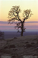 A second close-up photo of the lone oak tree shown in the previous photo. Near Chico, CA. 'Nikon F100 35mm SLR' (Click for larger view)
