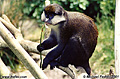 I was only able to spend a few hours at the world famous San Diego Zoo. The following series of picture is from that visit. Here is one monkey from an active family. San Diego, CA 'Nikon F100 35mm SLR' (Click for larger view)